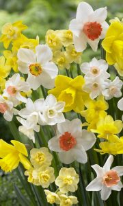Narcissus fragrant mixed